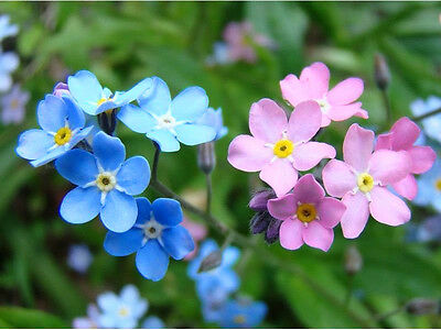 ALPINE FORGET ME NOT MIX - 320 seeds - Myosotis alpestris - FLOWER