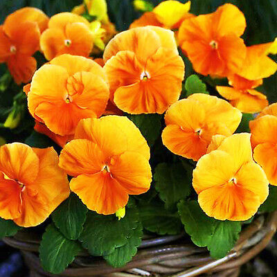 PANSY ORANGE  SEEDS - Swiss pansy - Viola wittrockiana - 550 seeds