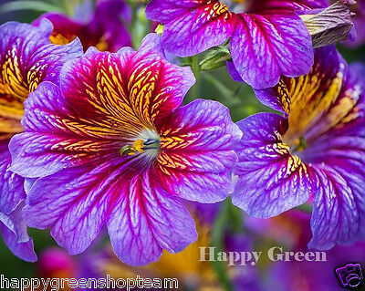 PAINTED TONGUE MIX - Scalloped Tube - Salpiglossis sinuata - 800 SEEDS