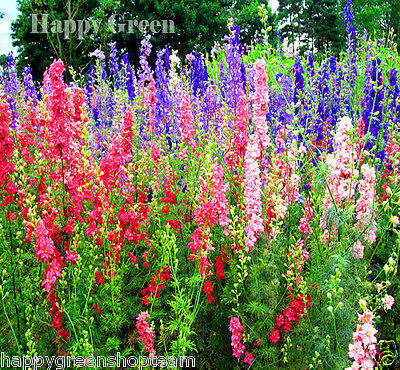 "GIANT LARKSPUR MIX up to 47""- Delphinium Consolida - 300 seeds - ANNUAL FLOWER"