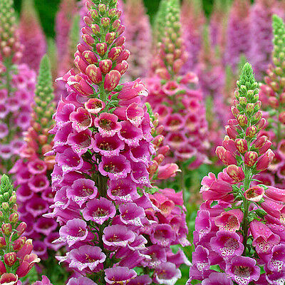 FOXGLOVE FOXY MIX - 10 000 Seeds - Digitalis purpurea Flower
