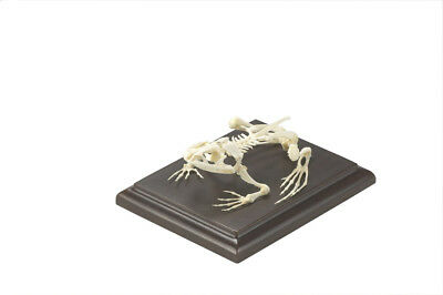 C & A Skeleton,  Bullfrog Skeleton
