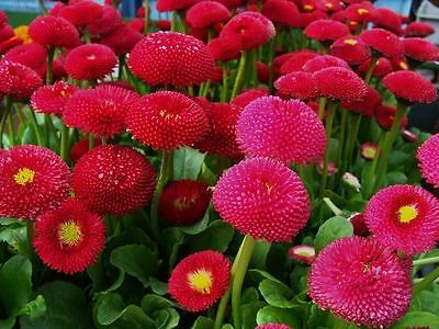 DAISY ENGLISH - 500 seeds -  POMPONETTE RED - BELLIS PERENNIS