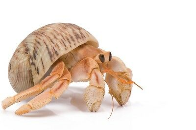 1 LIVE PET HERMIT CRAB :Redeem a FREE Coupon and He's Shipped to Your Door