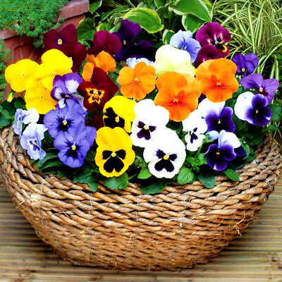 WINTER FLOWERING PANSY - 300 SEEDS - Viola wittrockiana hiemalis