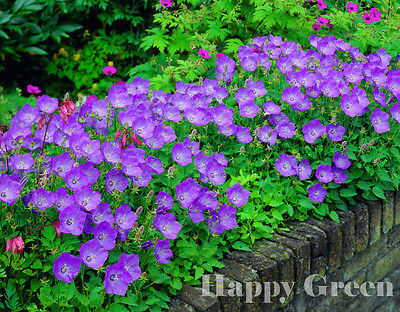 TUSSOCK BELLFLOWER BLUE - Campanula carpatica 5400 seeds PERENNIAL FLOWER