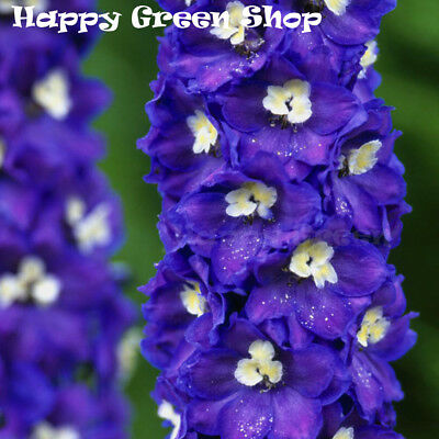 PACIFIC GIANT - KING ARTHUR - 70 SEEDS - Delphinium Cultorum - PERENNIAL FLOWER