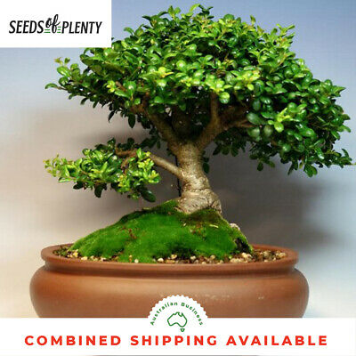 Chinese Boxwood - Buxus microphylla var sinica (40 Bonsai Seeds)