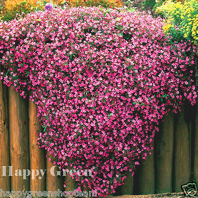 Tumbling Ted SOAPWORT – SAPONARIA OCYMOIDES - 700 Seeds - TRAILING FLOWER
