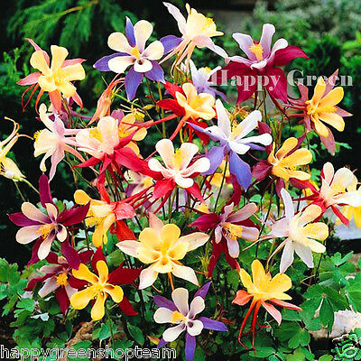 COLUMBINE DWARF MIX COLOUR  - 300 Seeds - Aquilegia Vulgaris