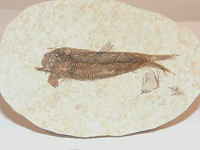 Fossil Fish over 2 inches long (7741)