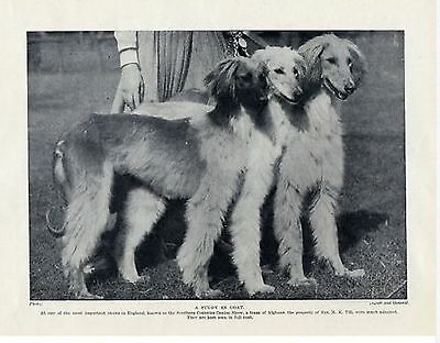 Afghan Dogs Beautiful At Dog Show  Photo 1934 Vintage Print