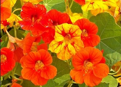NASTURTIUM MIX - Out of Africa - Tropaeolum majus - 80 seeds - ANNUAL FLOWER