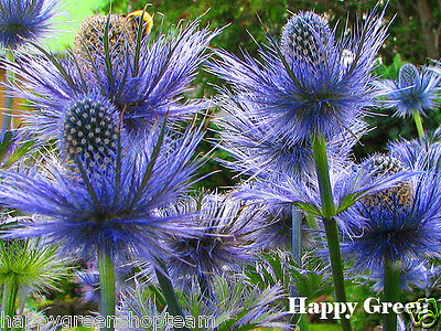 SEA HOLLY - 30 seeds - Eryngium Alpinum -  Alpine perennial flower