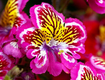 ANGEL WINGS MIX - 2000 SEEDS - Schizanthus wisetonensis - ANNUAL FLOWER