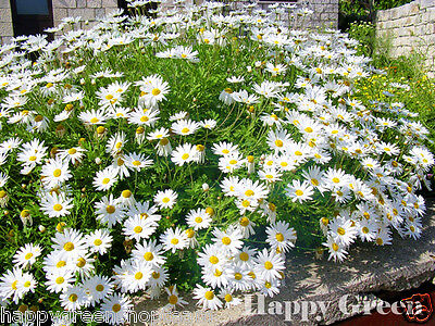 OX EYE DAISY DWARF - 1000 SEEDS - Chrysanthemum leucanthemum - Perennial Flower