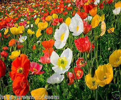 SHIRLEY POPPY MIX - ENGLISH POPPY  23 000 SEEDS - Papaver rhoeas - Annual Flower