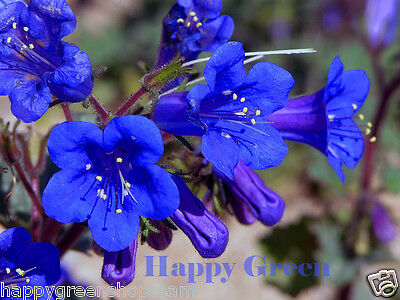 CALIFORNIA BLUEBELL  1100 SEEDS - Phacelia Campanularia - Bee butterfly - Flower