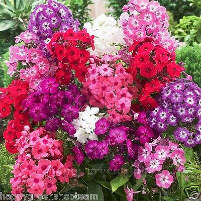 DRUMMOND'S PHLOX DWARF FANTASY  MIX - 500 SEEDS - Phlox drummondii nana - FLOWER