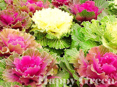 Ornamental Cabbage MIX  - 160 SEEDS - Brassica Oleracea - ANNUAL