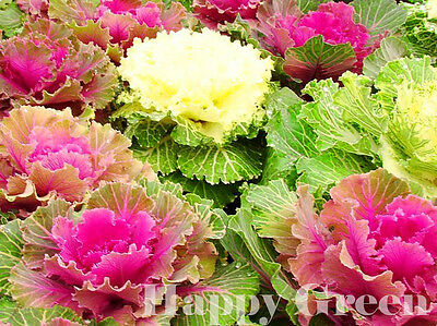 Ornamental Cabbage MIX  - 170 SEEDS - Brassica Oleracea - ANNUAL