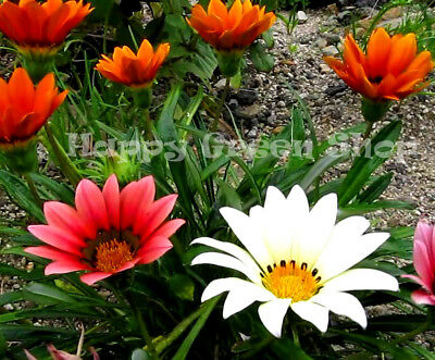 GAZANIA MIX - Gazania Hybrida Splendens - 130 seeds - BEDDING ANNUAL FLOWER