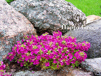 MOUNTAIN ROCK CRESS PINK - 1000 SEEDS - Arabis Caucasica - ROCKERY FLOWER