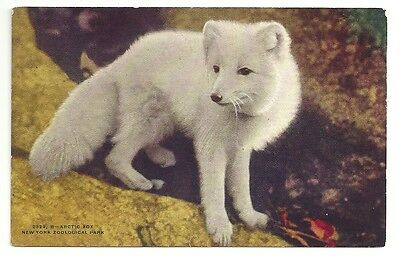 Arctic Fox Animals New York Zoological Park Unposted Vintage Postcard