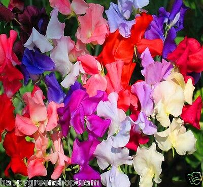 Flower Sweet Pea Royal Dreams Mix - 45 Seeds - Climbing Flower
