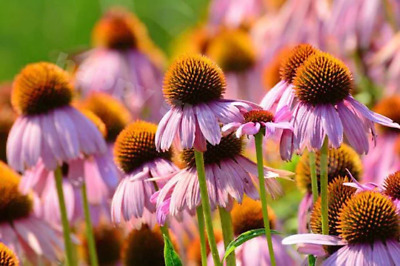 Purple Coneflower - RUBY STAR - 300 SEEDS - Echinacea purpurea