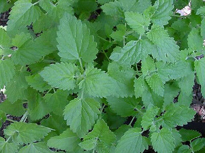 5,000 Catnip Seeds COMMON CATNIP SEEDS Herb Seeds BULK SEEDS