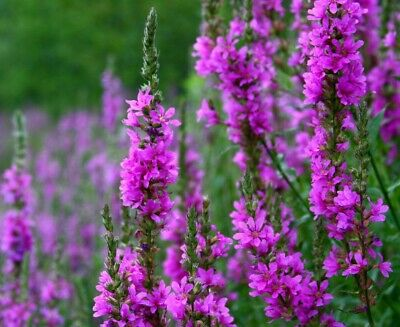 Purple Loosestrife - Lythrum Salicaria - 10 000 SEEDS - Wildflower perennial