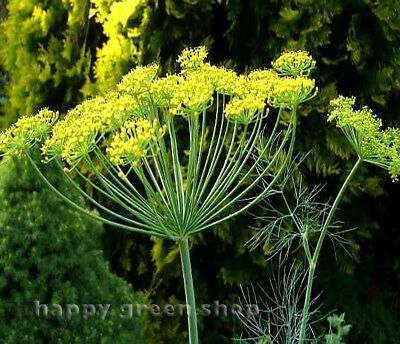 YARROW - THE PEARL - Achillea Ptarmica - 800 SEEDS - Perennial Flower
