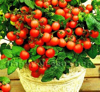 Vegetable Tomato Maskotka - 30 Seeds - Trailing Balcony Tomato