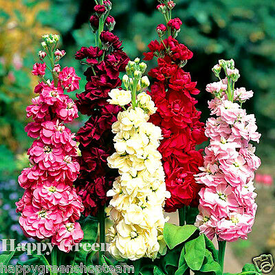 COLUMN STOCK - Mammouth Excelsior - 150 SEEDS - Matthiola Incana - ANNUAL FLOWER