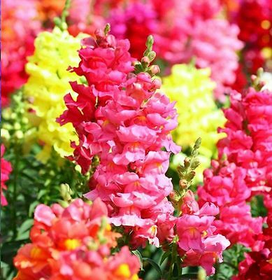 SNAPDRAGON MIX - Antirrhinum Majus Maximum - 7000 seeds - ANNUAL FLOWER