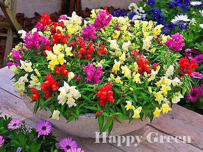 SNAPDRAGON MIX - DWARF - Antirrhinum Majus Nanum - 4500 seeds - FLOWER