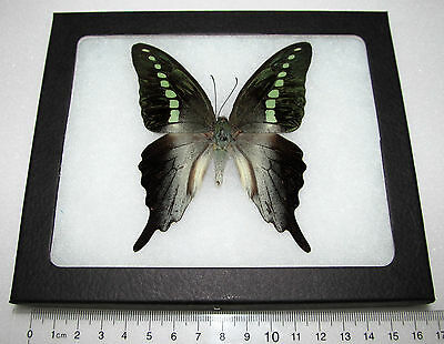 Real Framed Butterfly Papilio Codrus Jelly Bean Indonesia