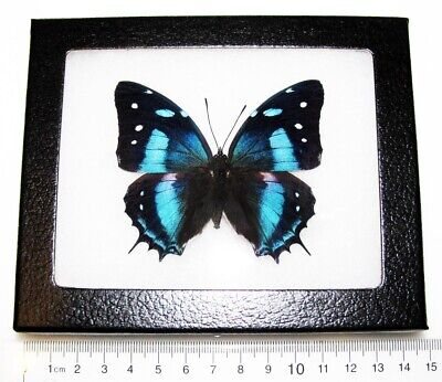 Real Peruvian Leopard Baeotus Metallic Blue Recto Framed Butterfly Insect