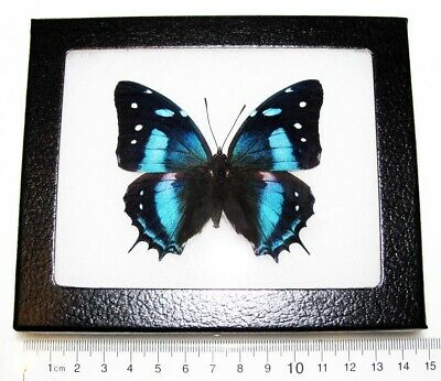 Real Peruvian Leopard Baoetus Metallic Blue Recto Framed Butterfly Insect