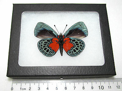 Real Red Blue Peruvian Callithea Optima Verso Framed Butterfly Insect