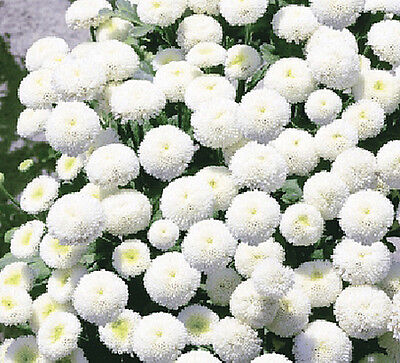 RARE - SNOW BALL FLOWER - Chrysanthemum Tanacetum parthenium  - 750 seeds