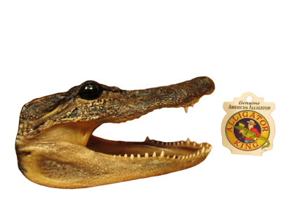 "Alligator Head 6-7"" Genuine Real Gator American Taxidermy Reptile FREE SHIPPING"