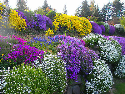 Alpines - ROCKERY GARDEN MIXED FLOWER SEEDS - 0.5 g - Perennial