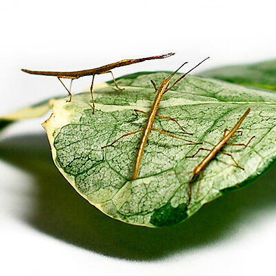 1 x L1-L4 Small Indian Stick Insect Nymph Living Creature Live Food