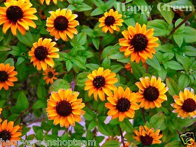 Creeping Zinnia - Sanvitalia Procumbens - 260 seeds - Annual Flower