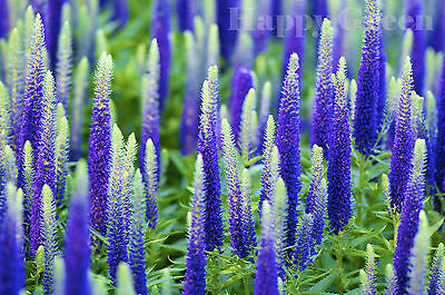 SPIKED SPEEDWELL - Veronica Spicata - 1300 seeds - PERENNIAL ROCKERY FLOWER