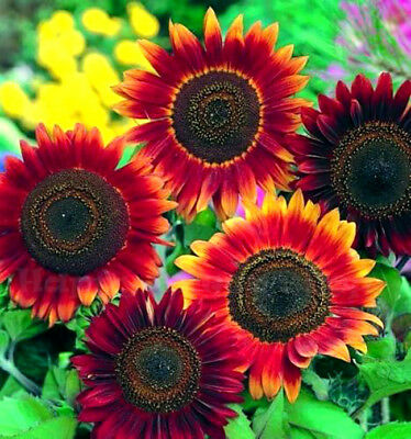 SUNFLOWER RED SUN TALL - 200 SEEDS - Helianthus annuus - ANNUAL FLOWER