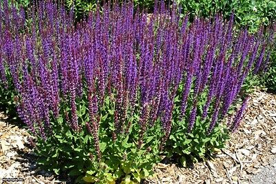 WOODLAND SAGE - SALVIA NEMOROSA - 200 seeds - PERENNIAL FLOWER