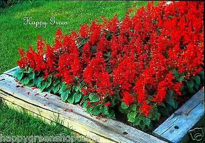 Sage Scarlet Red - 100 Seeds - Salvia Splendens - Flower